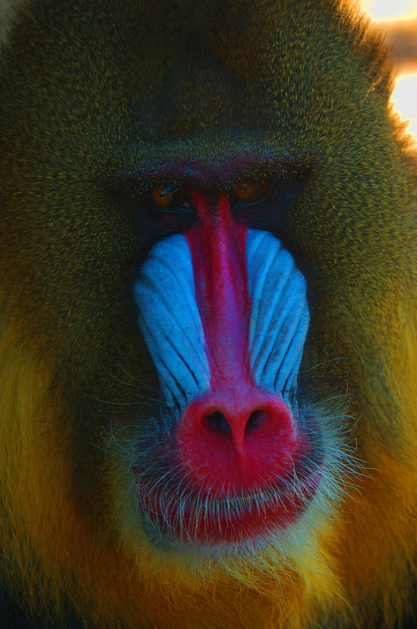 Male Mandrill by Richard Henne