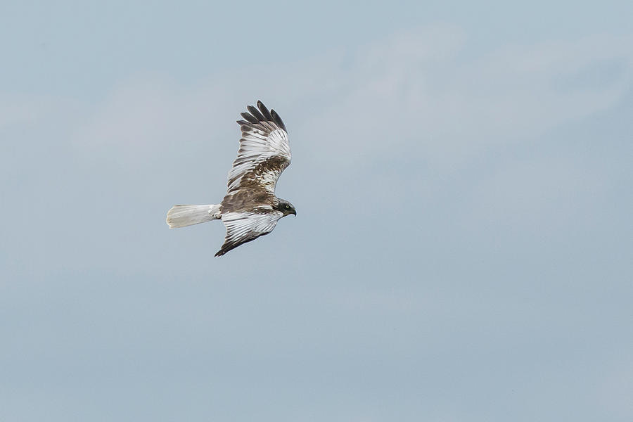 Male Marsh Harrier Photograph