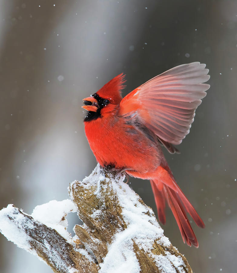 Male Northern Cardinal by Mircea Costina Photography