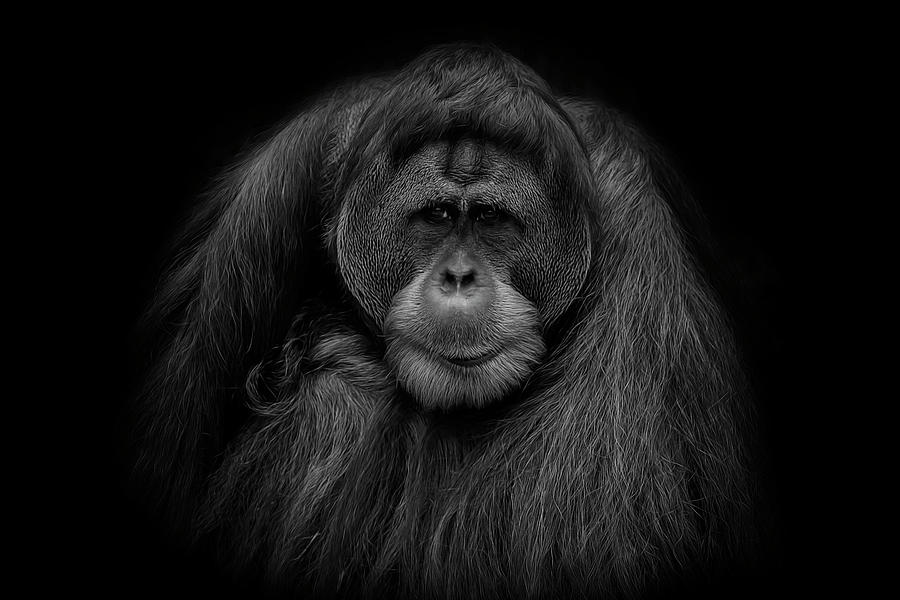 Orangutan photograph male orangutan black and white portrait by david gn