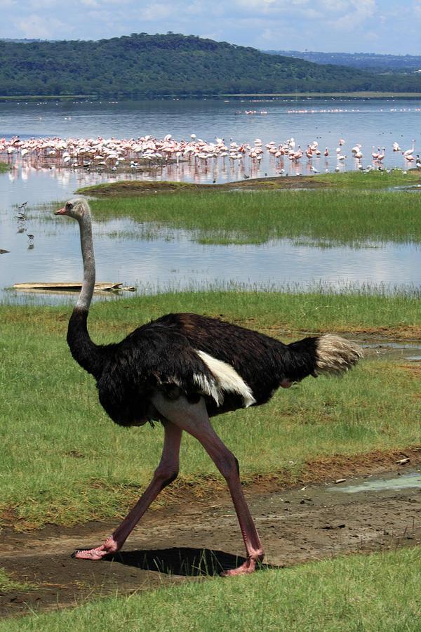 Birds Photograph - Male Ostrich by Aidan Moran