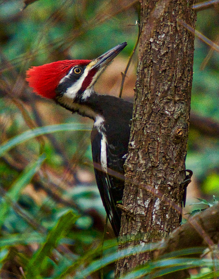 Pileated Woodpecker Photograph - Male Pileated Woodpecker by Robert L Jackson