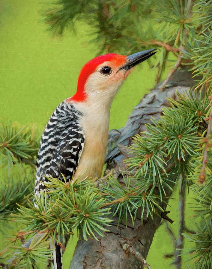 Bird Photograph - Male Red Bellied Woodpecker In A Tree by Jerry Deutsch