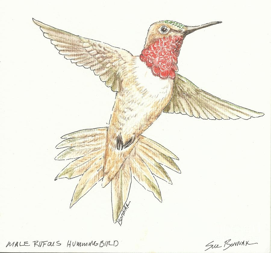 Rufous hummingbird drawing - photo#14