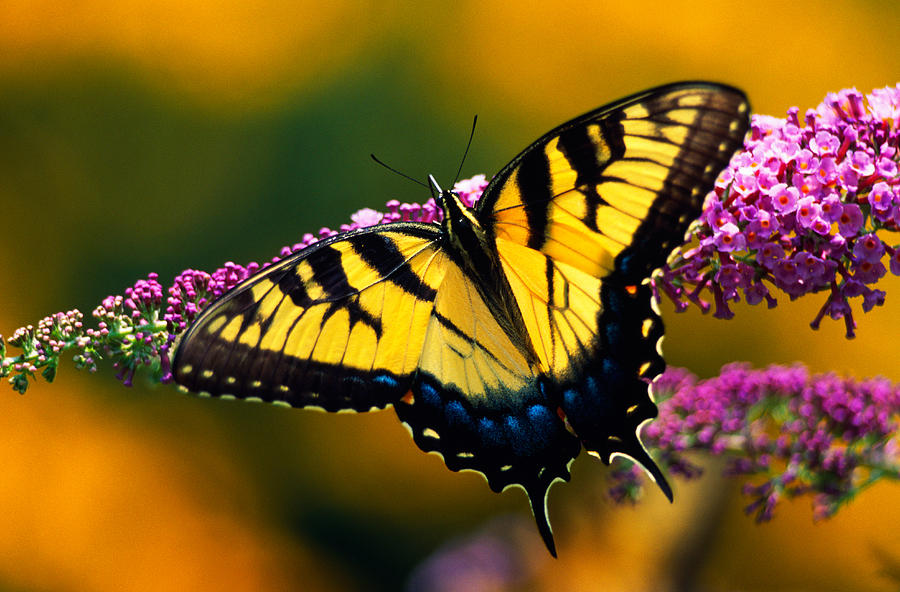Color Image Photograph - Male Tiger Swallowtail Butterfly On by Panoramic Images