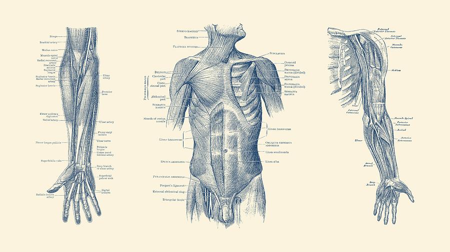 Male Upper Body Muscular System Multi View Vintage Anatomy