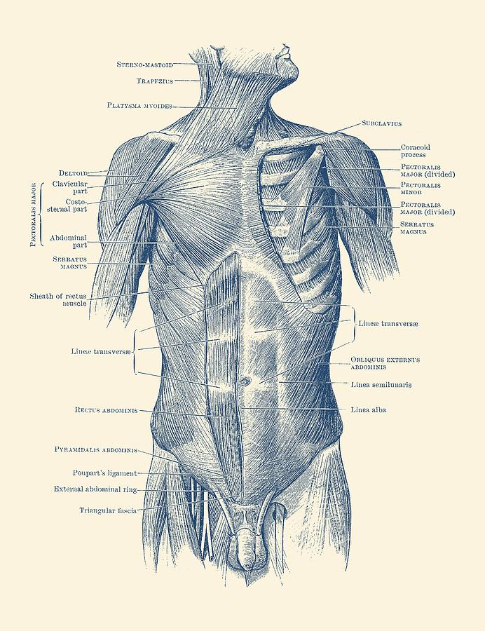 Male Upper Body Muscular System Vintage Anatomy Drawing By Vintage