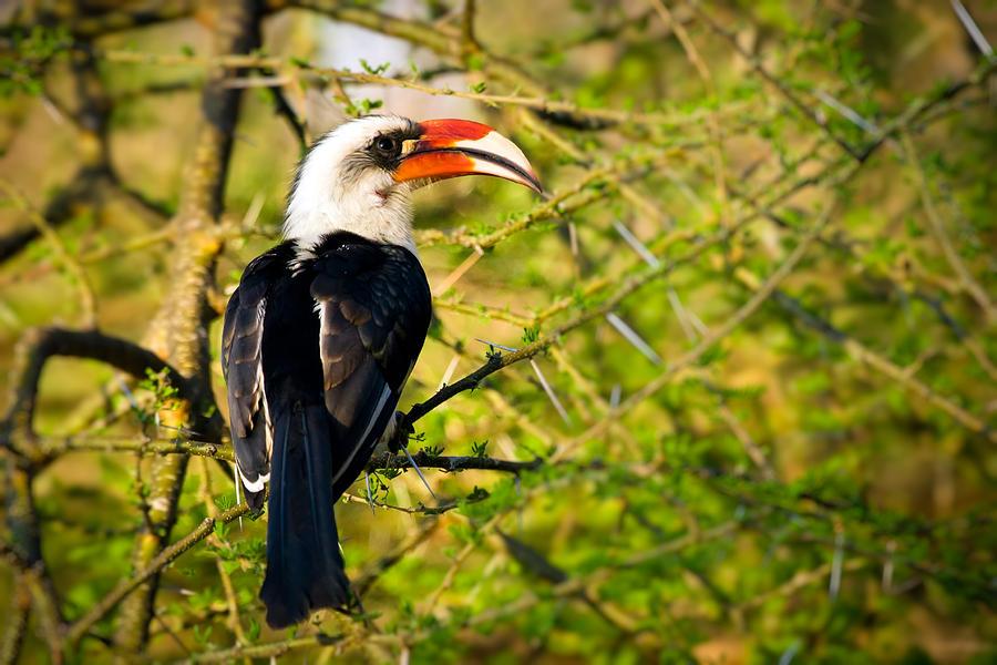 Acacia Photograph - Male Von Der Deckens Hornbill by Adam Romanowicz