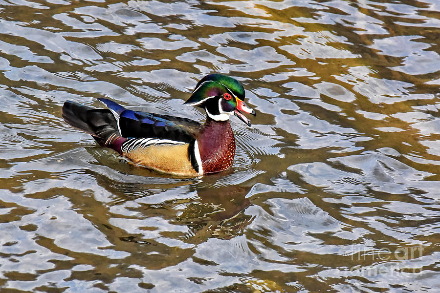 Male Wood Duck by Cynthia Staley
