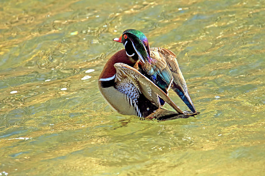 Male Wood Duck Showing Off His Colorful Feathers Photograph