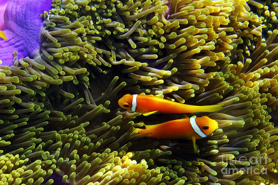 Animal Photograph - Maledives Clown fish by Juergen Held