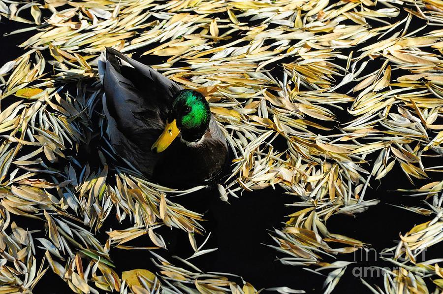 Mallard Photograph - Mallard Drake Among Fallen Autumn Leaves by Merrimon Crawford