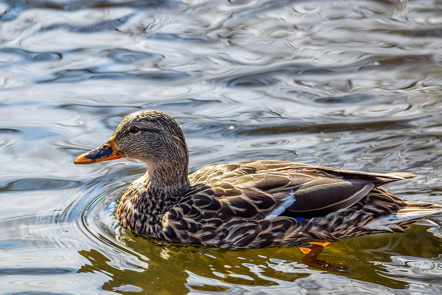 Mallard Photograph - Mallard 2 by Michael Putthoff