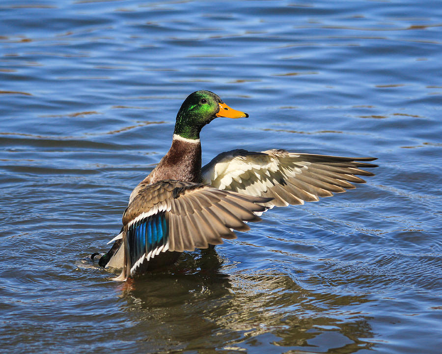 Mallard Photograph - Mallard Drake In The Water by Kimberly Kotzian