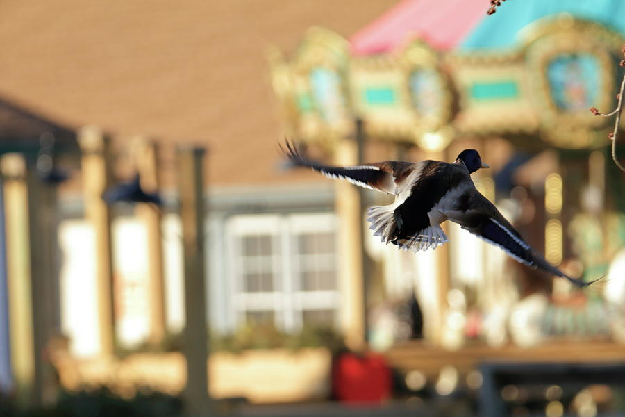 Mallard Duck And Carousel Photograph