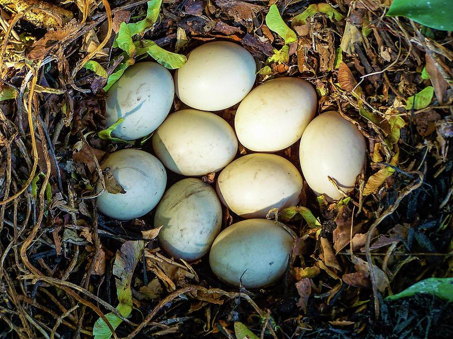 Animal Photograph - Mallard Duck Eggs in Nest by Tim Bond