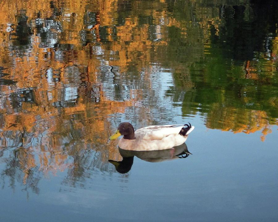 Mallard Duck Floating On Autumn Pond by Julia L Wright