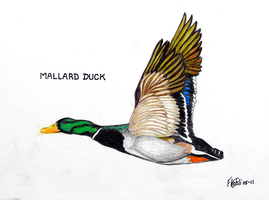 nature drawing drawing mallard duck by frederic kohli