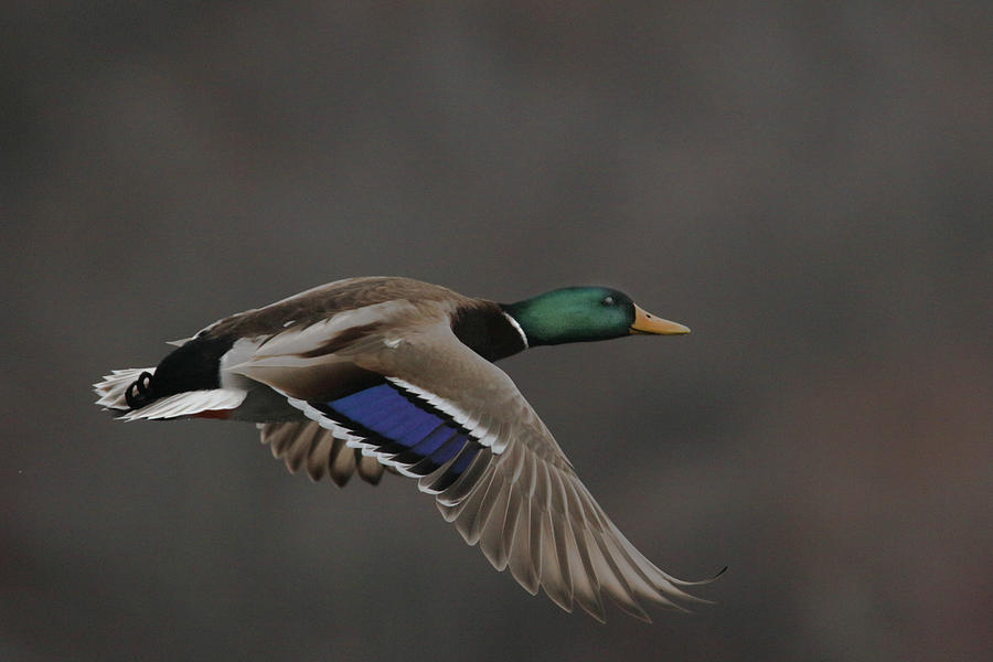 Mallard Photograph - Mallard Duck in Flight Artsy2 by Nikki Vig
