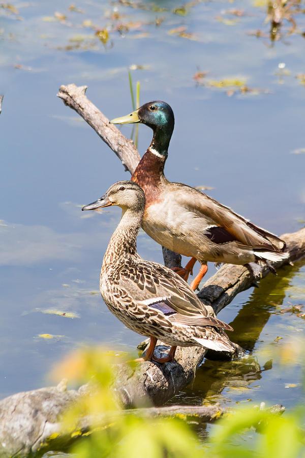 Mallard Duck Pair by Kenneth F Konjevich