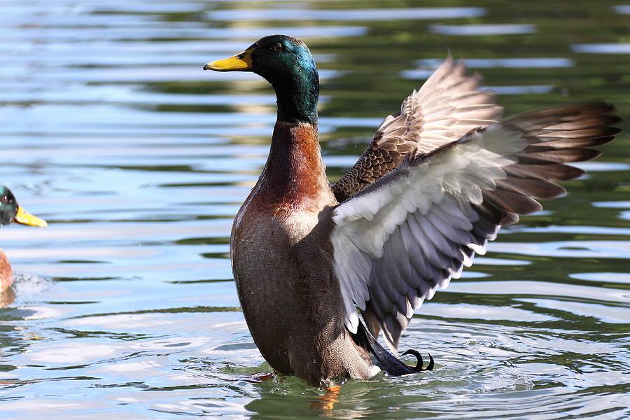Mallard Duck Photograph - Mallard Duck  by Stephen Athea