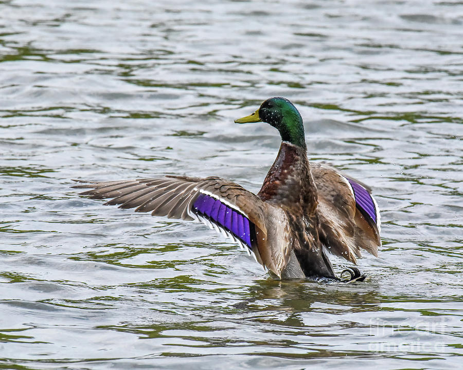 Mallard Duck with Wings Spread Out by Cynthia Staley