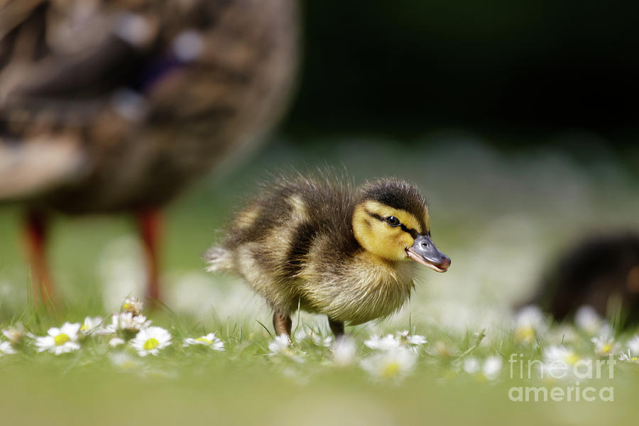 Anas Photograph - Mallard ducklings - Anas platyrhynchos - grazing feeding among dai by Paul Farnfield