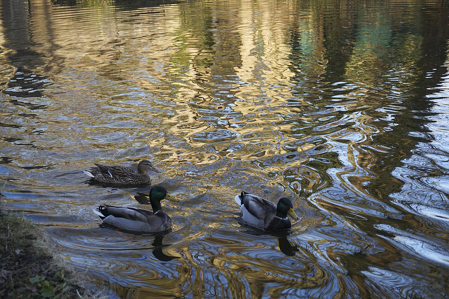 Animal Photograph - Mallard Ducks On The Canal #1107 by Don Charisma