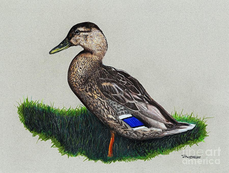 Duck Drawing - Mallard Green by Kevin Scott Jacobs