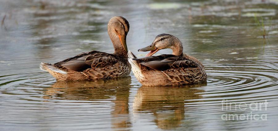 Duck Photograph - Mallard Hens Face Time by Bob Christopher