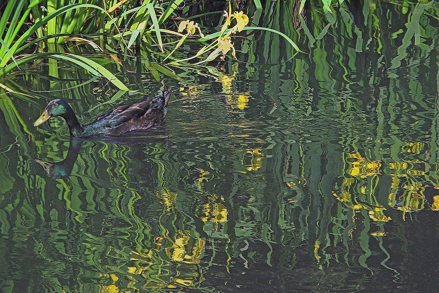 Mallard Photograph - Mallard In The Marsh by Suzy Piatt