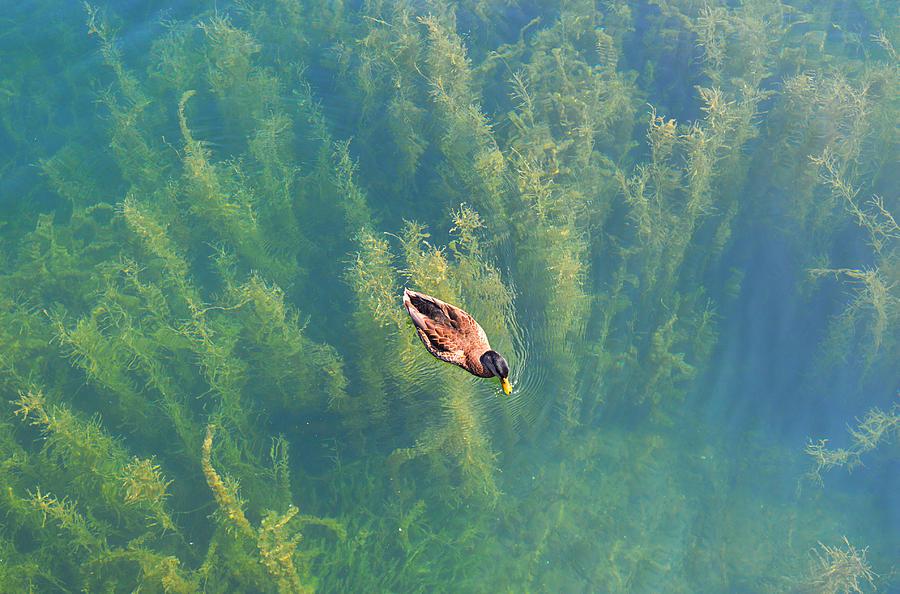 Mallard Photograph - Mallard Over Seaweed by SimplyCMB