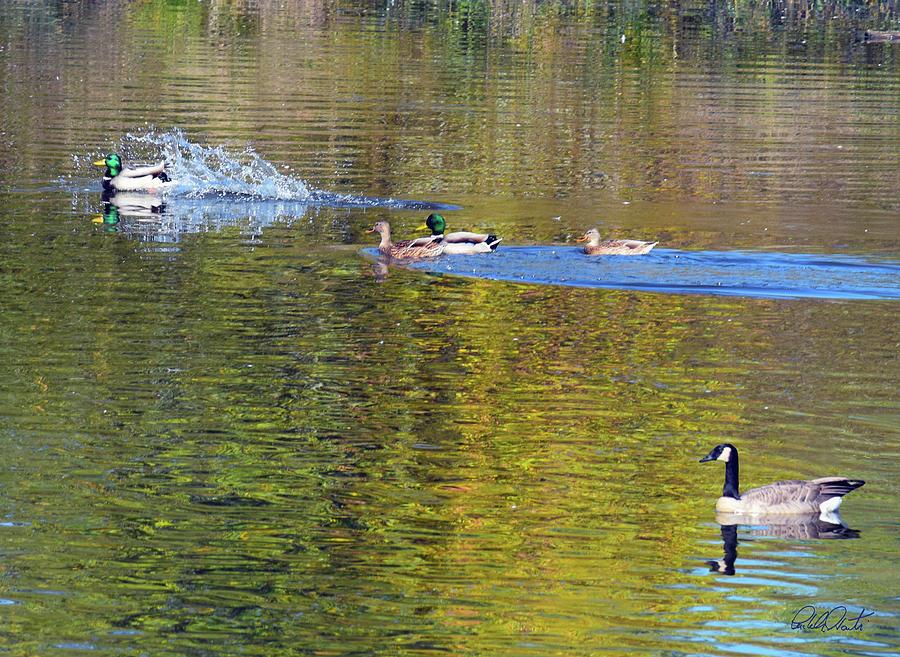 Mallard Splash Landing Photograph