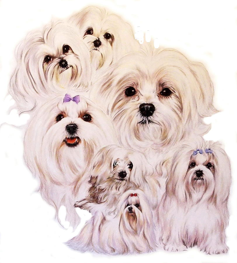 Dog Drawing - Maltese by Barbara Keith