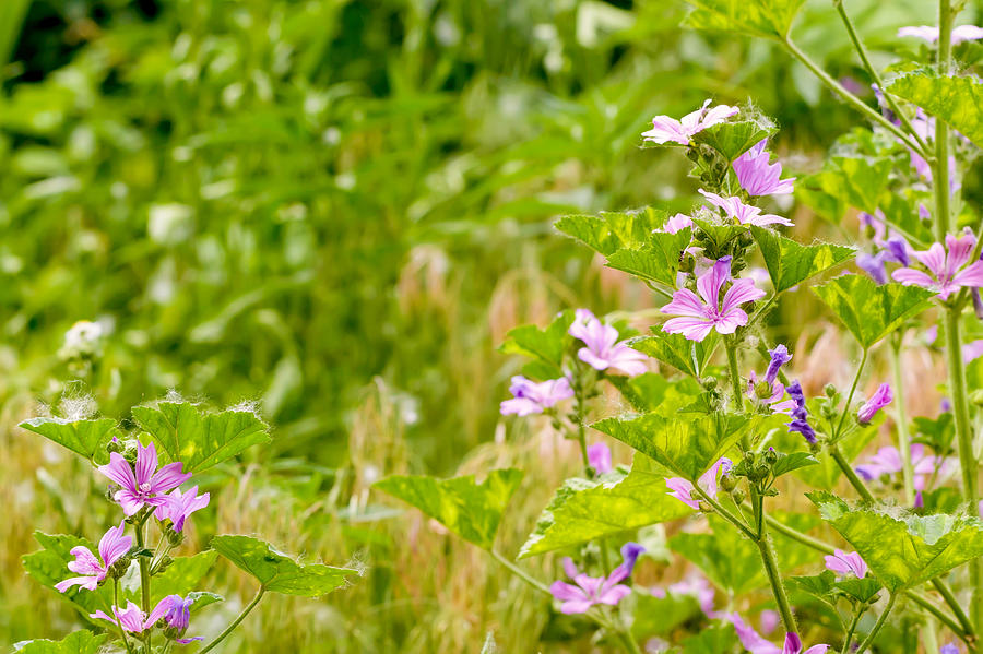 Bloom Photograph - Malva And Chamomile In The Meadow by Alain De Maximy
