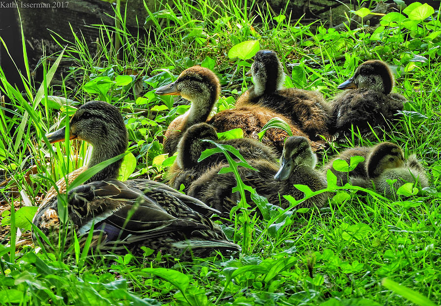 American Duck Photograph - Mama And Babies by Kathi Isserman