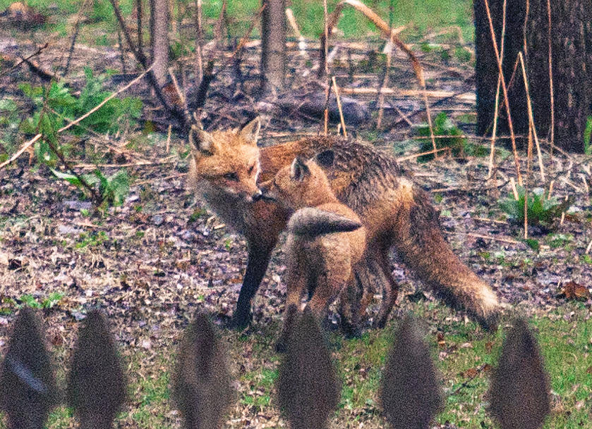 Mama and kit Apr 2015 by Chris Babcock