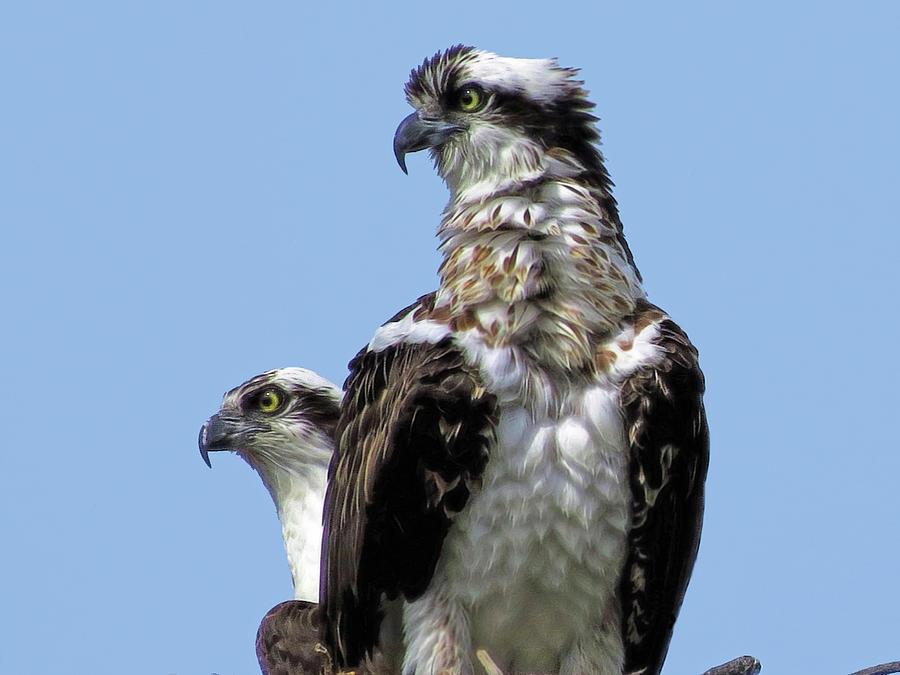 Mama and Papa Osprey by A H Kuusela