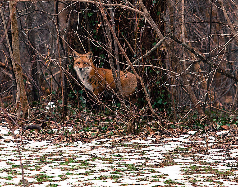 Mama fox Jan 2015 by Chris Babcock