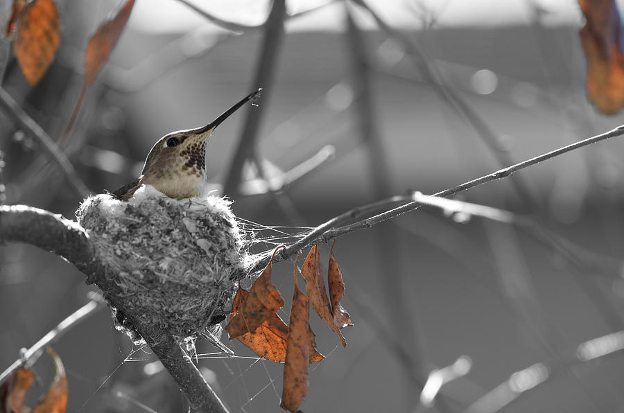 Mama Hummingbird by Spencer Hughes