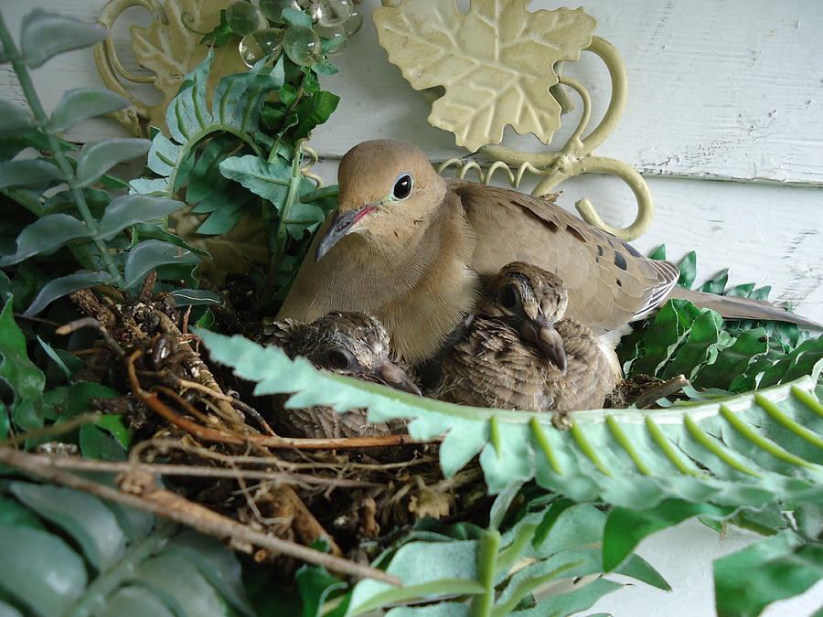 Mama Morning Dove by Leslie Manley