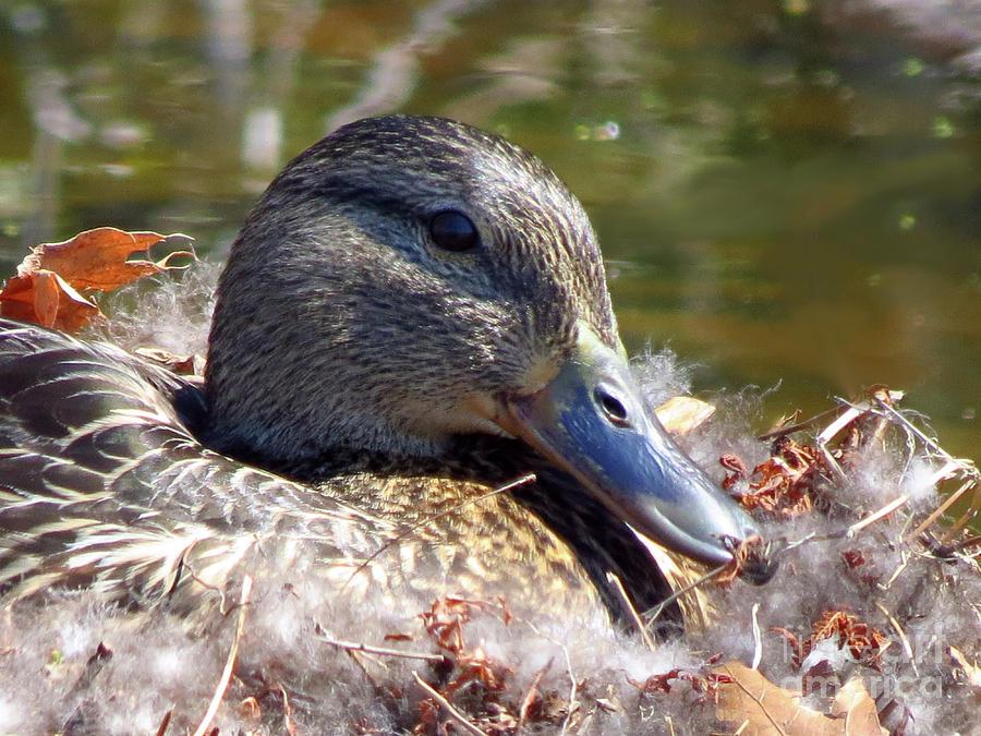 Rhinebeck Photograph - Mama Nesting by Donna Cavanaugh