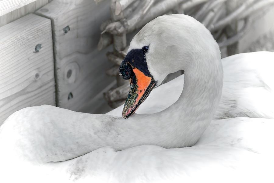 Mute Photograph - Mama Swan At Abbotsbury - Desaturated by Susie Peek