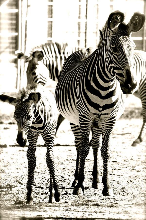 Black And White Of Zebra's Photograph - Mamas Love by Jennifer  Lane