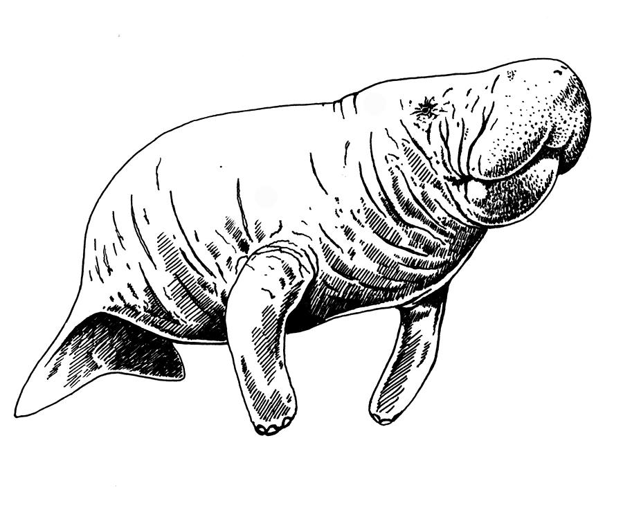 Manatee drawing