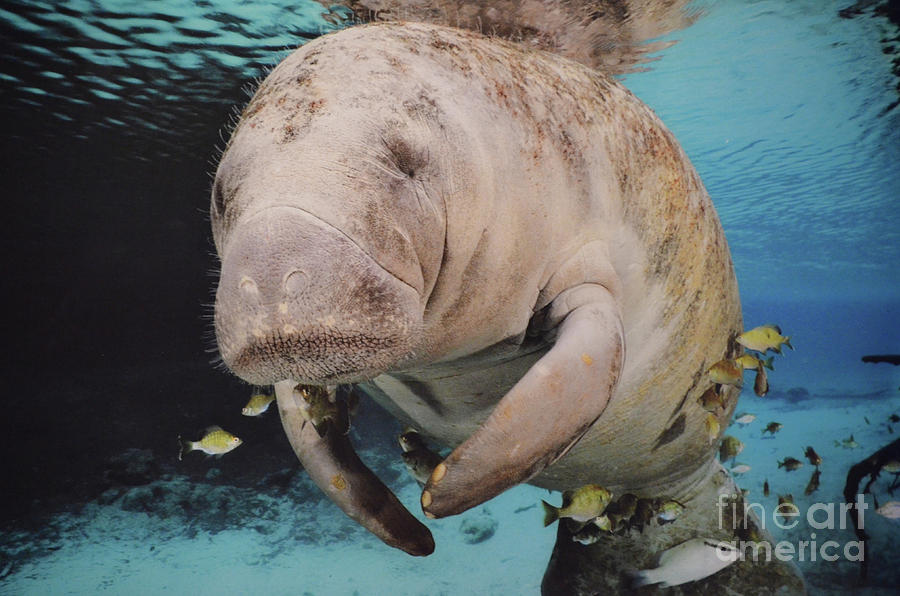 Art print POSTER CANVAS Manatee Swimming Underwater