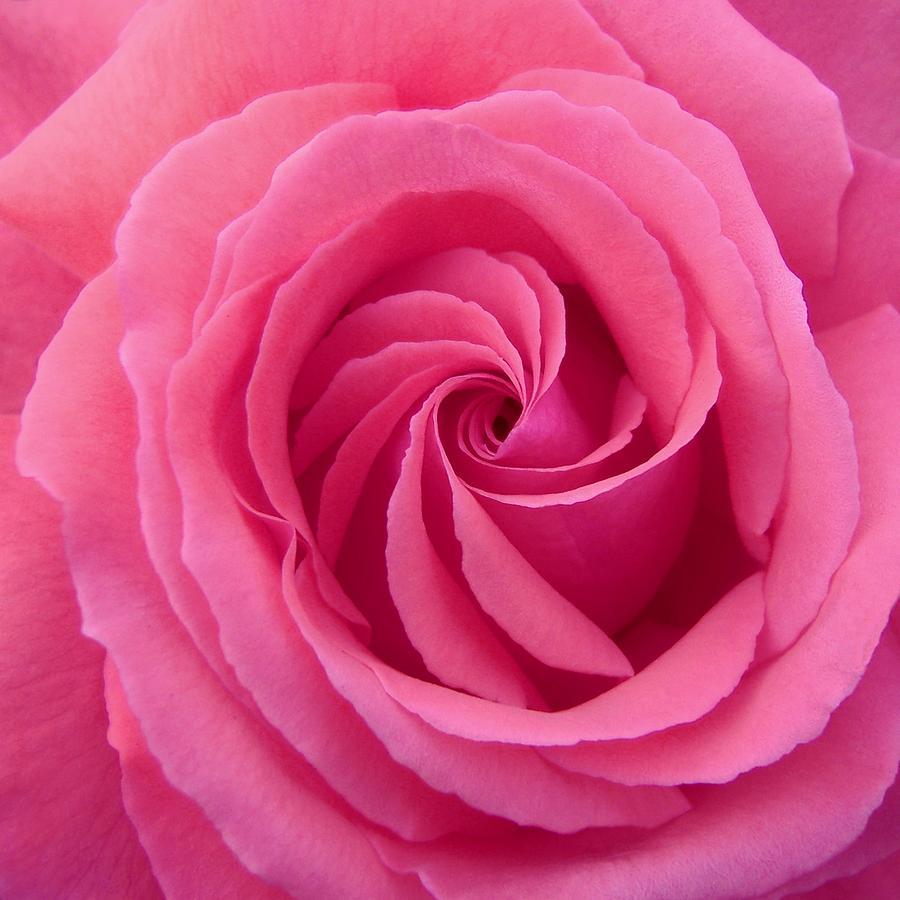 Rose Photograph - Mandala Of Rose by Jacqueline Migell