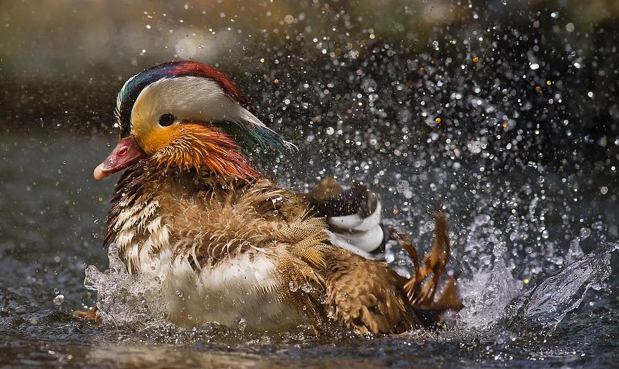 Mandarin Photograph - Mandarin Duck by C.s.tjandra