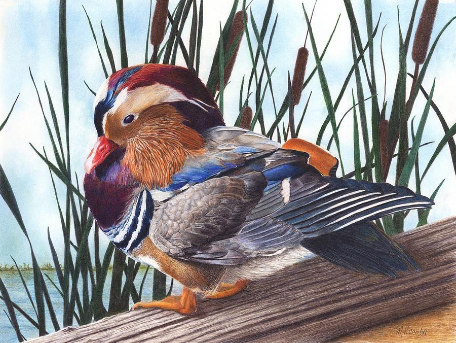 Duck Drawing - Mandarin Duck by Marlene Piccolin