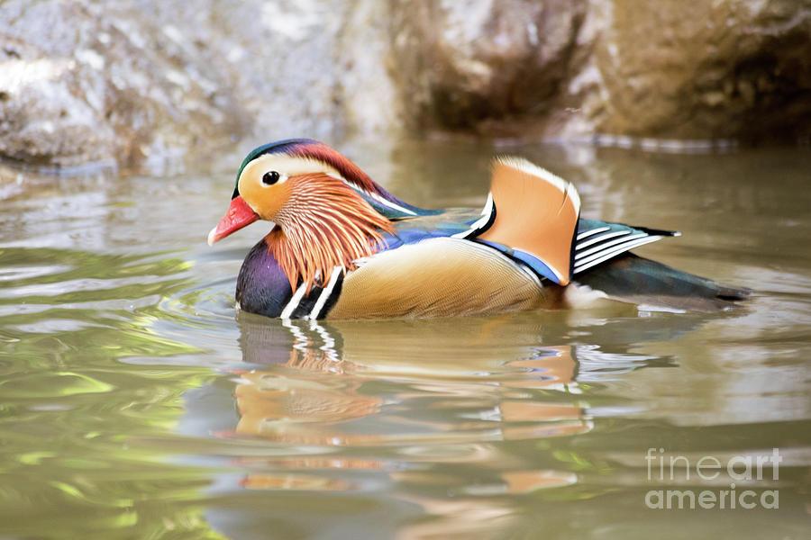 Mandarin Photograph - Mandarin Duck Swimming by Cesar Padilla